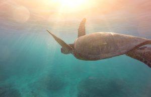 Sea Turtle in the Mediterranean