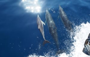 Dolphins in the Mediterranean